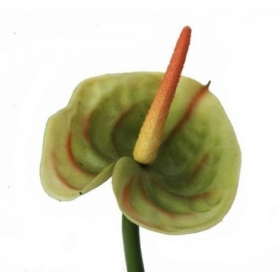 Vara de Anthurium color verde