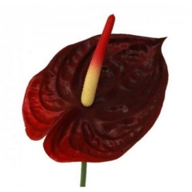 Vara de anthurium en color...